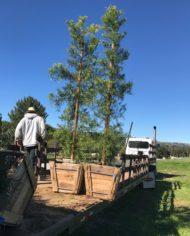 "Podocarpus Gracilior 24 Box""  Columnar"