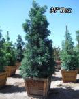 Podocarpus-gracilior-Afrocarpus-36-Box.