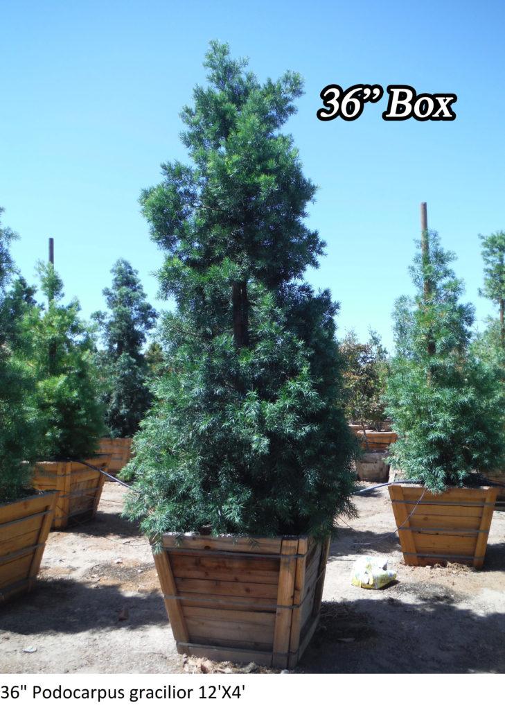 Podocarpus Gracilior For Sale In 5 Gallon 15 Gallon Amp 24