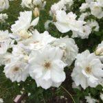 Iceberg rose plants flowering