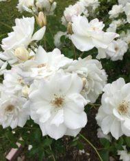 Iceberg rose plants