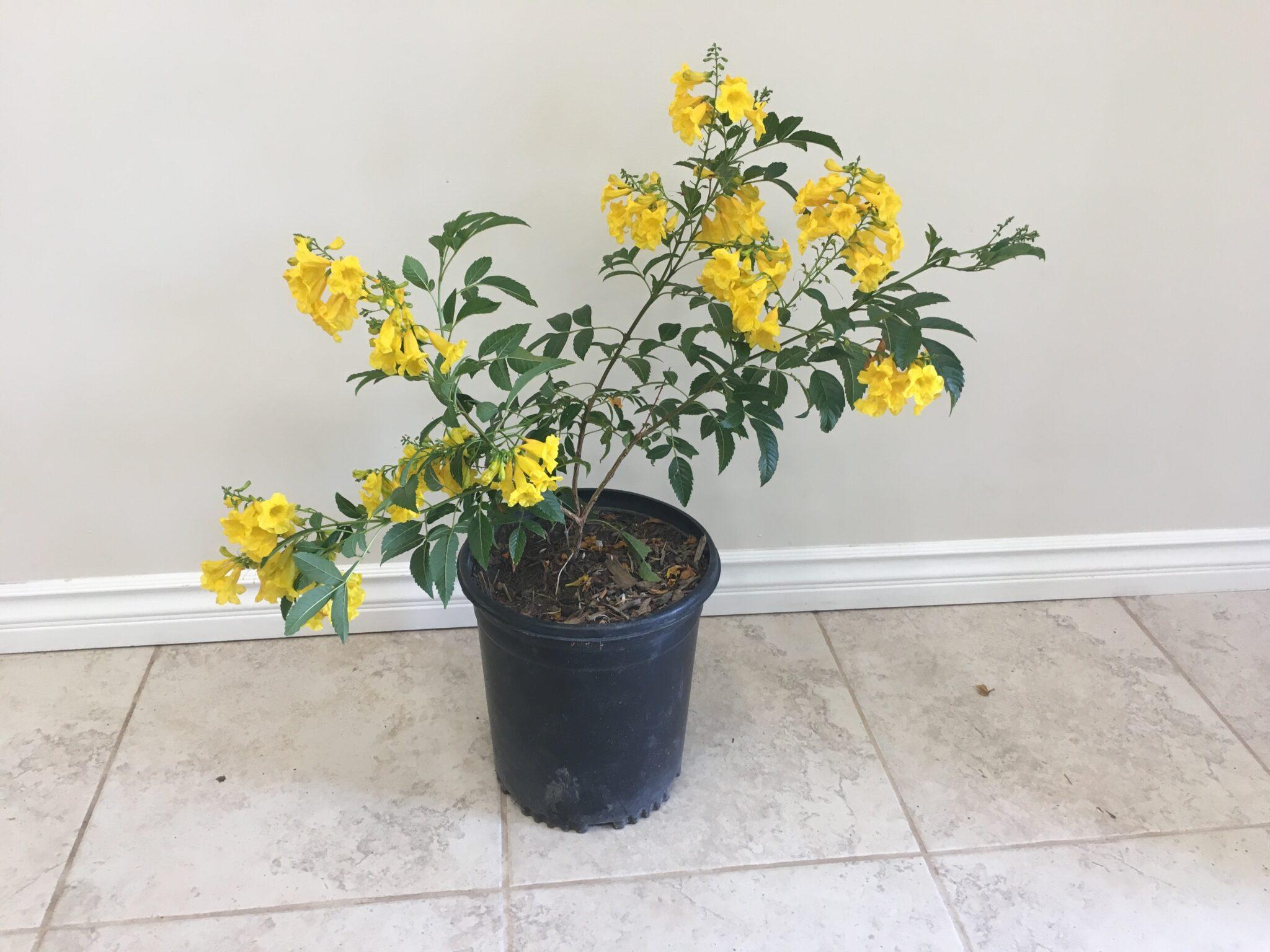 Tecoma Stans Yellow Bells Yellow Trumpet Vine
