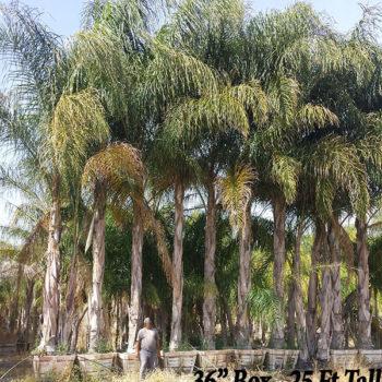 Queen Palm Tree Syagrus Romanzoffiana