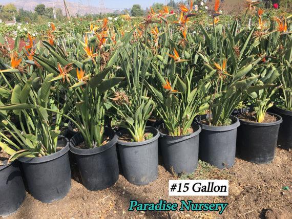 Bird of Paradise - Strelizia reginae 15 gallon