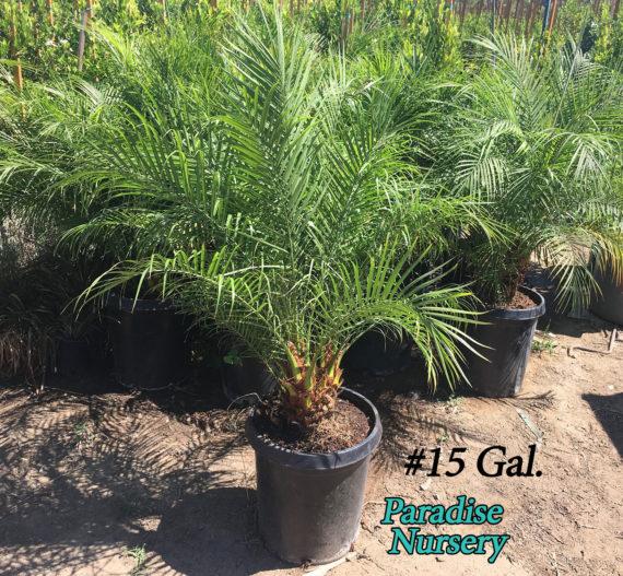 Pygmy Date Palm Pheonix roebelini 15 gallon